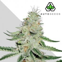 Auto Dreamberry (x3)
