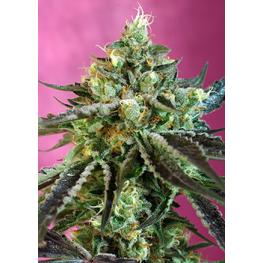 Auto Sweet Nurse CBD (x3) +1